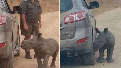 Orphaned rhino calf cuddles up to tourist's grey jeep trying to replace his mother | What's Happening to Africa's Rhino? | Scoop.it