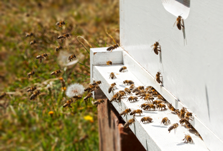 What's Behind Bee Die-Off? U.S. and Europe Disagree : The Crux | Africa and Beyond | Scoop.it