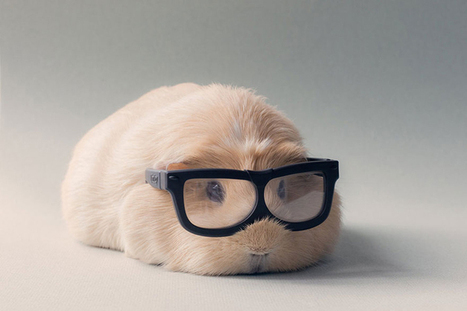 guinea pig | inspiration photos | picturescollections | Scoop.it