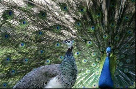 7 peacocks killed by poachers in Barmer in Jaipur | Wildlife Trafficking: Who Does it? Allows it? | Scoop.it