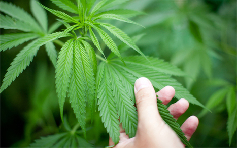 Marijuana and Cannabis and Politics | health care &  health politics & infographics | Scoop.it