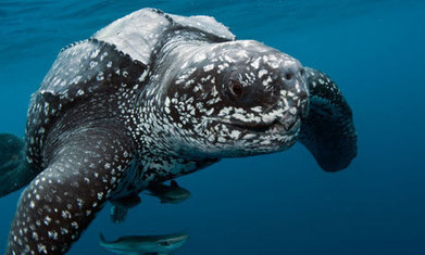 Eighty sea turtles wash up dead on the coast of Guatemala | All about water, the oceans, environmental issues | Scoop.it