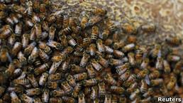 BBC Mundo - Últimas Noticias - Abejas francesas golosas producen miel azul y verde | Apicultura Investigación | Scoop.it