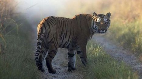 Tiger evades hunters, kills 10th person in India in 6 weeks - Fox News | rajasthan | Scoop.it