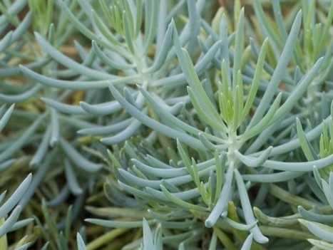 Senecio serpens – Blue Chalksticks | World of Succulents | Succulents | Scoop.it