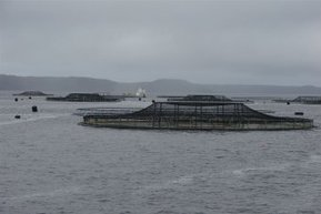 A rare chronic disease found in farmed salmon for the first time in Tasmania | ASEM Aquaculture Health | Scoop.it