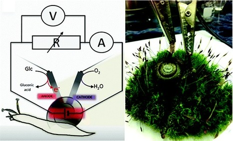 Implanted Biofuel Cell Operating in a Living Snail | BES | Scoop.it