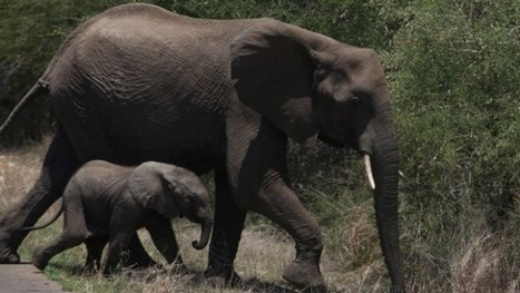 Baby elephant Africa dies after being poisoned | Pachyderm Magazine | Scoop.it