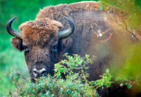 Wild Bison Return to Europe After a Century | idle no more and environment | Scoop.it