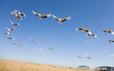 Whooping Crane Babies Learn to Fly with Special Planes | This Gives Me Hope | Scoop.it