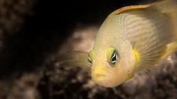 Dottyback's deadly #colourtrick #revealed ~ a survivor! | Rescue our Ocean's & it's species from Man's Pollution! | Scoop.it