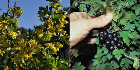 Native plants offer fruit, beauty | Fruit trees | Scoop.it