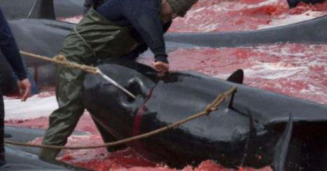 Confrontation musclée pour Sea Shepherd contre les tueries de dauphins aux îles Féroé | Tourisme | Scoop.it