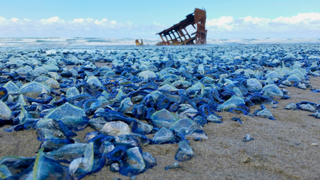 Pictures: Billions of Blue# Jellyfish Wash Up on American Beaches #climate | Messenger for mother Earth | Scoop.it