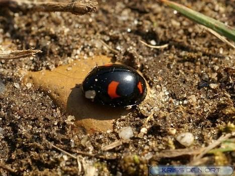 Photo de coléoptère : Coccinelle asiatique - Harmonia axyridis - Coccinella axyridis - Asian lady beetle - Page 2 | Fauna Free Pics - Public Domain - Photos gratuites d'animaux | Scoop.it