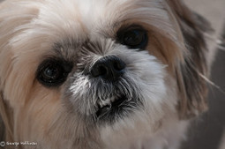 How To Work With A Fearful Shih Tzu | Shih Tzu & Furbabies | Scoop.it