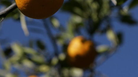 Curling leaves on citrus trees is sign of drought | CALS in the News | Scoop.it