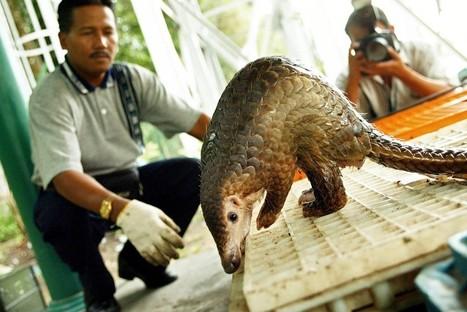 Les pangolins, mystérieux mammifères chassés jusqu'à l'extinction | The Blog's Revue by OlivierSC | Scoop.it