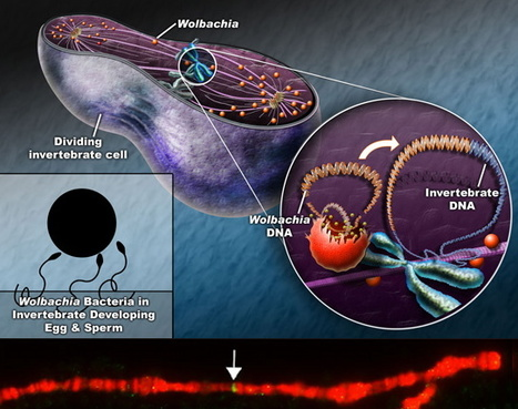 Parasitic DNA: Complete bacterial genome discovered inside genome of a Drosophila fruitfly | Amazing Science | Scoop.it