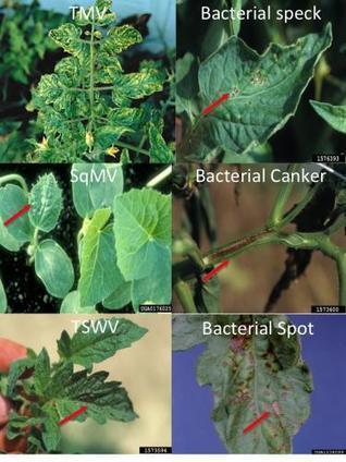 Sanitation is critical to prevent plant diseases Part 1: Greenhouse sanitation - Michigan State University Extension | Emerging Plant Viruses | Scoop.it