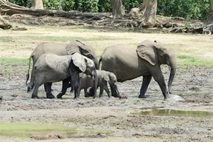 STUDY: A Lost Century for Forest Elephants | Pachyderm Magazine | Scoop.it