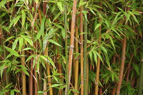 WALSH: Bamboo likely soon to become, uh, taboo - Cherry Hill Courier Post | New age bamboo solutions | Scoop.it