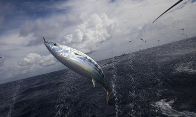 Sainsbury's own-brand tuna to become 100% sustainable | Sustainable living and business practices | Scoop.it