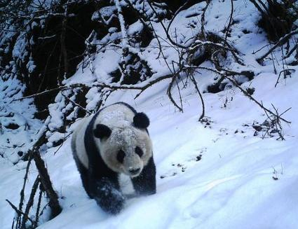A peek at the secret life of pandas | GarryRogers NatCon News | Scoop.it