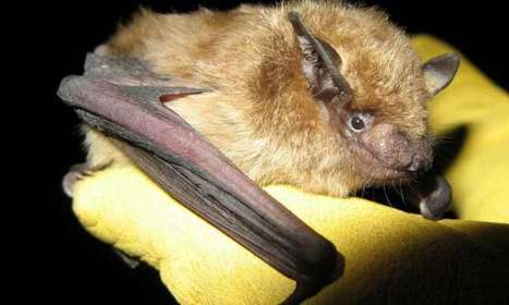 Explaining species differences in bat mortality from white-nose syndrome | Bat Biology and Ecology | Scoop.it
