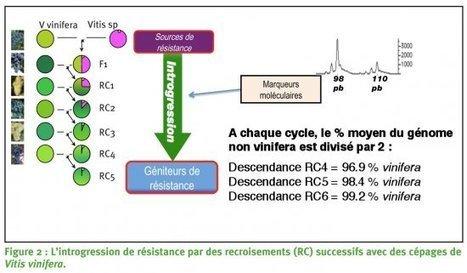 Rétrocroisement pourdes vignes résistantes aux maladies cryptogamiques? | Winemak-in | Scoop.it
