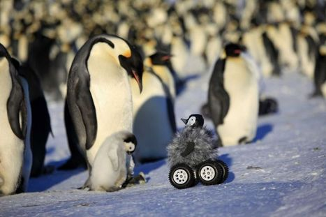 Roving chick spy keeps tabs on shy penguins | Quand l'assurance apprivoise internet - Ronan de Bellecombe | Scoop.it