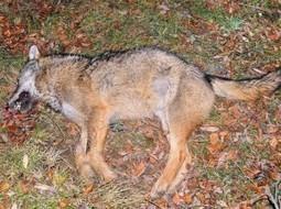 Hécatombe dans les Abruzzes : 12 loups tués en 2 mois | FERUS | Sauvegarde et Protection des animaux | Scoop.it