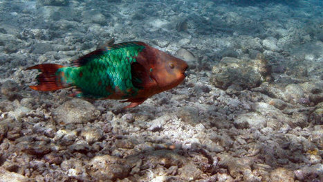 Caribbean coral reefs will be lost within 20 years without protection | Sustain Our Earth | Scoop.it