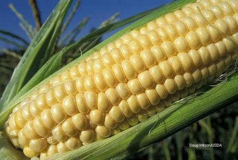 NC farmers and consumers need a good corn harvest this year | NBC-17 | North Carolina Agriculture | Scoop.it