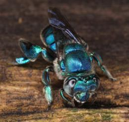Bees outpace orchids in evolution | VCE Biology | Scoop.it