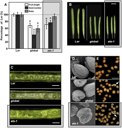 Gibberellins Regulate Ovule Integument Development by Interfering with the Transcription Factor ATS | Plant Biochemistry | Scoop.it