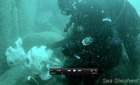 Sea Shepherd Investigates Secret Underwater Pilot Whale Graveyard   Nature Animals humankind   Scoop.it