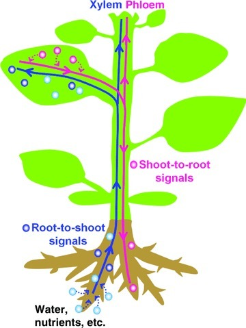 JIntegrPlantBiol: The Plant Vascular System: Evolution, Development and Functions (OA) | Collect and enrich existing web content with your knowledge and expertise | Scoop.it