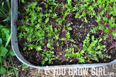 Guide to Growing Lettuce and Salad Greens | Sustainibility | Scoop.it