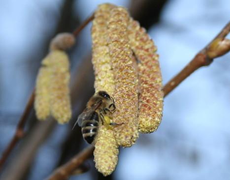 L'arbre du mois : le Noisetier commun | Les colocs du jardin | Scoop.it