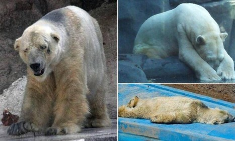Is this the world's saddest animal? Fears for polar bear Arturo | Animal Management | Scoop.it