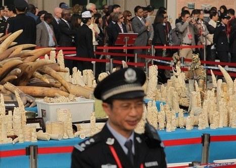 China Should Buy Back Stocks, Close Ivory Markets For Good: IFAW | Biodiversity | Scoop.it