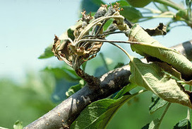 Diseases of Fruit Crops & Ornamentals: Resistant Fire Blight bacteria in New York | Plant health | Scoop.it