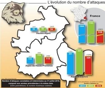 Attaques de loups, bataille de chiffres | Loup | Scoop.it