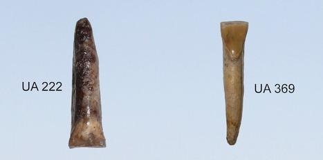 D'étranges dents d'hominidés : la nouvelle pièce du puzzle de l'évolution humaine   Aux origines   Scoop.it