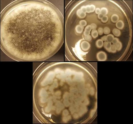 Fungi recycle rechargeable lithium-ion batteries | bioremediation | Scoop.it