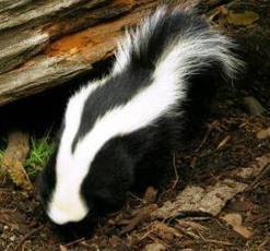 Finding Stories: How I got a skunk to start my conference talk | Just Story It! Biz Storytelling | Scoop.it