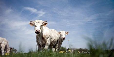 Le Japon pourrait interdire la viande de bœuf de Fukushima   LeMonde.fr   Japon : séisme, tsunami & conséquences   Scoop.it