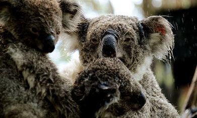 Koalas face 'huge' fall in numbers as climate change bites, study warns   Animals R Us   Scoop.it