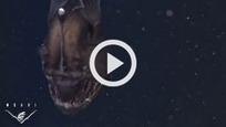 Un terrifiant poisson des profondeurs pour la première fois en vidéo   animaux   Scoop.it